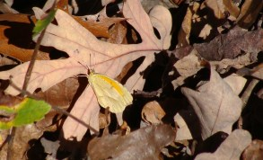 Yellow butterfly rests on a fallen oak leaf.